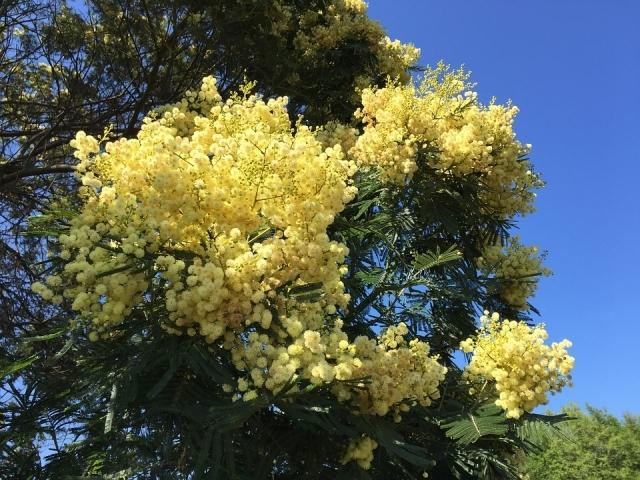Alberi a crescita rapida caratteristiche e tipologie for Gli alberi sempreverdi