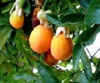 Alberi esotici for Kiwi albero