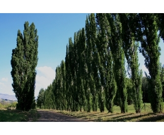Alberi frangivento - Alberi a crescita rapida sempreverdi ...