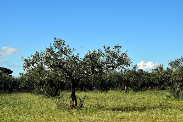 Alberi mediterranei caratteristiche e nomi degli alberi for Gli alberi sempreverdi