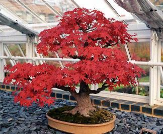 Bonsai acero rosso for Acero giapponese in vaso