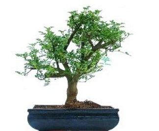 Bonsai albero del pepe - Cura dei bonsai in casa ...