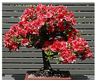 Bonsai azalea for Bonsai da esterno