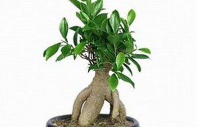Bonsai da interno for Tipi di bonsai