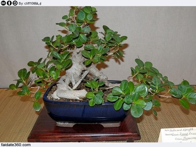 Bonsai Ficus Microcarpa