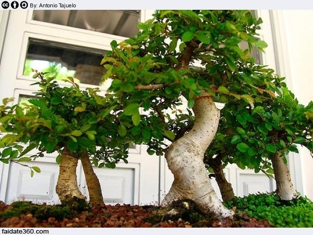 Ortensie Foglie Gialle : Bonsai foglie gialle