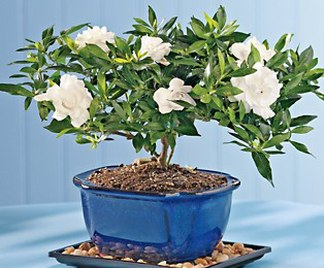 Bonsai gardenia for Bonsai da esterno