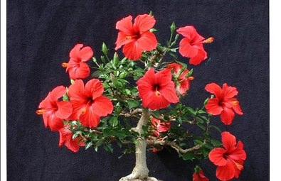 Bonsai hibiscus