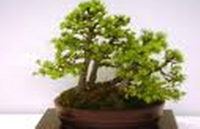 Bonsai da esterno for Bonsai da esterno