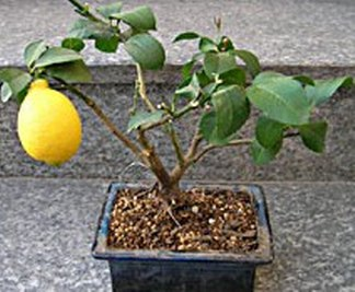 Bonsai limone for Bonsai da esterno