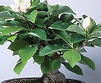 Bonsai Magnolia