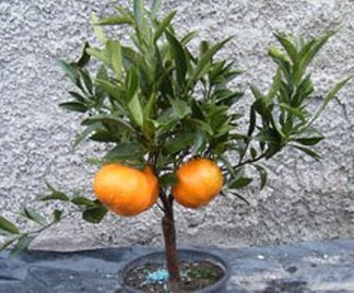 Bonsai mandarino