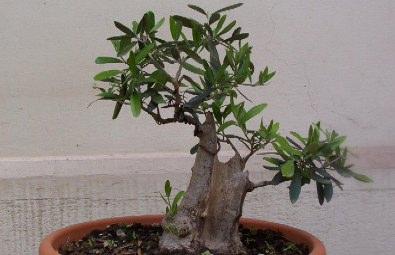 Bonsai da frutto for Bonsai ciliegio