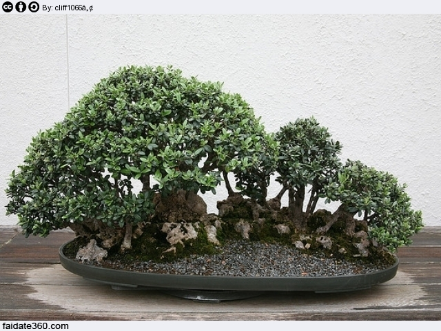 Bonsai olivo for Olivo bonsai prezzo