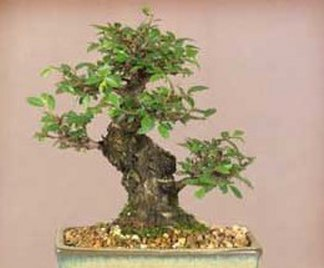 Bonsai olmo for Bonsai da esterno