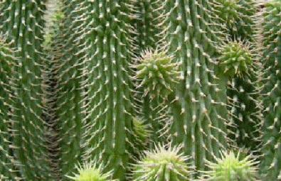 Cura cactus