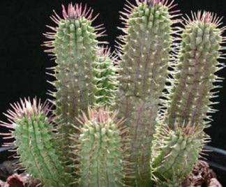 Cura piante grasse - Piante grasse da esterno pendenti ...