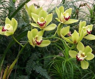 Fioritura orchidee - Orchidee da esterno ...