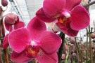 Malattie orchidee