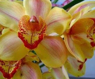 Orchidee cymbidium for Orchidee da esterno