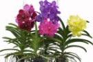Orchidee Vanda