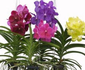 Orchidee vanda for Radici orchidea