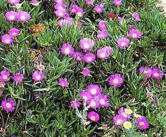 Piante grasse rampicanti for Piante grasse ornamentali
