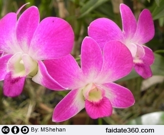 Potare orchidea