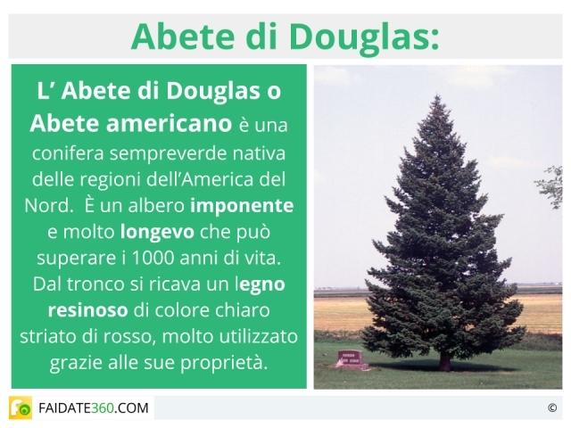 Abete douglas americano: caratteristiche, prezzo, usi e coltivazione