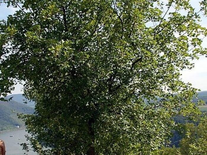 Alberi mediterranei caratteristiche e nomi degli alberi for Quercia sempreverde