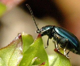 Altica insetto