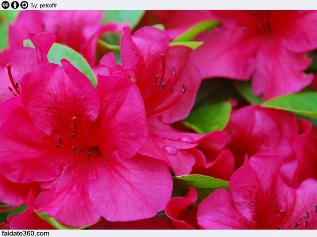 Azalea cura e coltivazione for Cura azalea