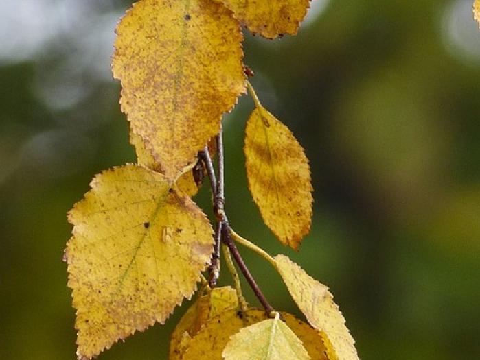 Alberi caducifoglie caratteristiche ed elenco delle for Elenco alberi da frutto
