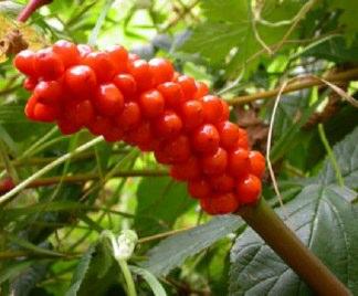 Calla selvatica arum italicum for Calla pianta