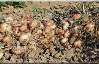 Coltivare l 39 orto for Coltivare cipolle