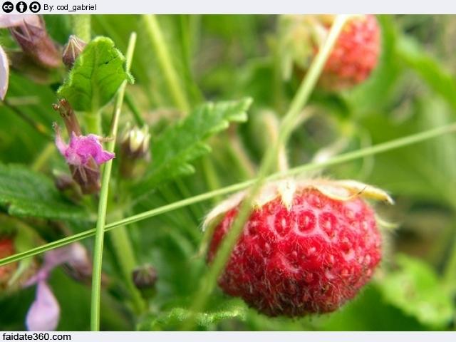 Coltivazione fragole for Pianta di fragole