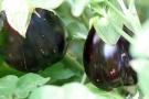 Coltivazione melanzana