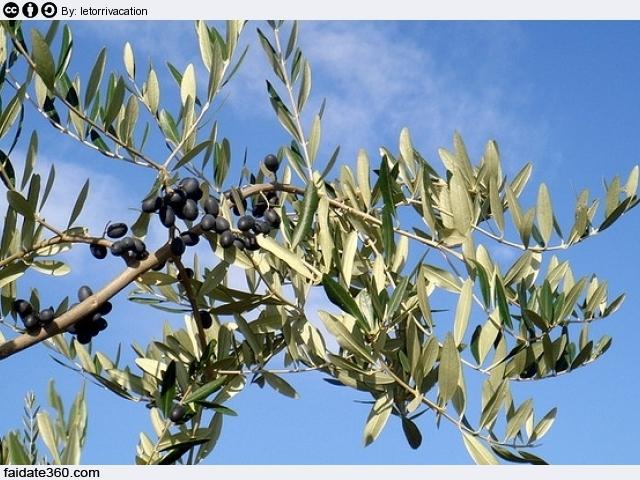Coltivazione olivo