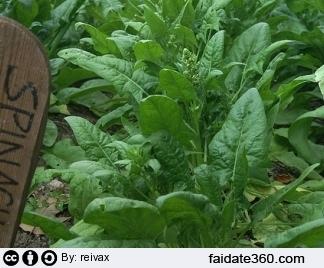 Coltivazione spinaci