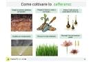 Coltivazione zafferano: come coltivarlo in vaso, serra o giardino