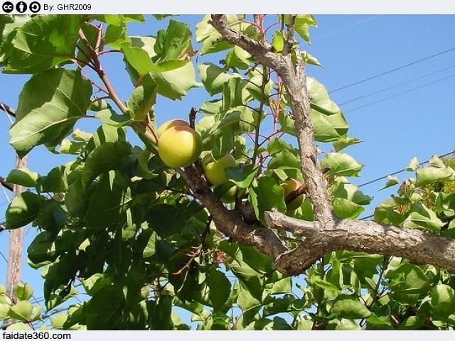Potare Piante Da Frutta : Come potare un albicocco