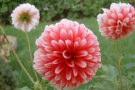 Dahlia  Dalia fiore coltivazione