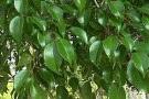 Ficus lyrata ficus pandurata for Ficus benjamin perde foglie
