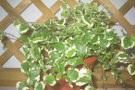 Ficus pumila Ficus repens Fico rampicante