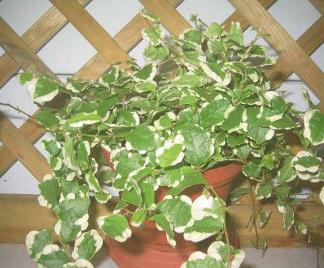 Ficus pumila ficus repens fico rampicante for Pianta rampicante sempreverde