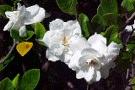 Gardenia cura e coltivazione