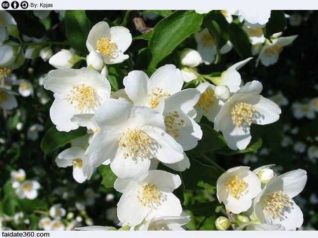 Gelsomino cura e coltivazione for Gelsomino rampicante