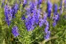 Issopo Hyssopus officinalis  proprietà e coltivazione