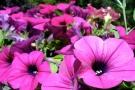 Petunia cure e coltivazione