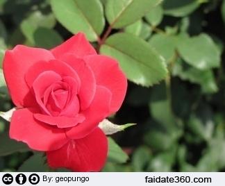 Potare  le rose: rampicanti o a cespuglio, in vaso o in  giardino